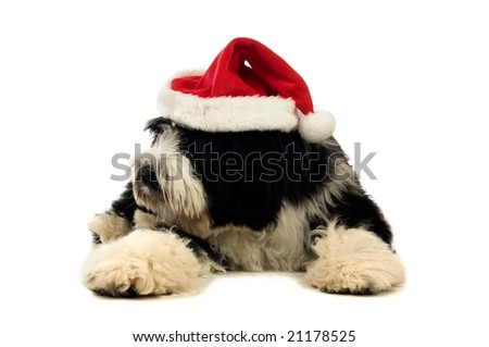 Tibetan terrier puppy isolated on a white background with a santa hat on