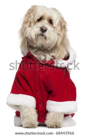 Tibetan Terrier wearing Santa outfit, 9 years old, sitting in front of white background - stock photo
