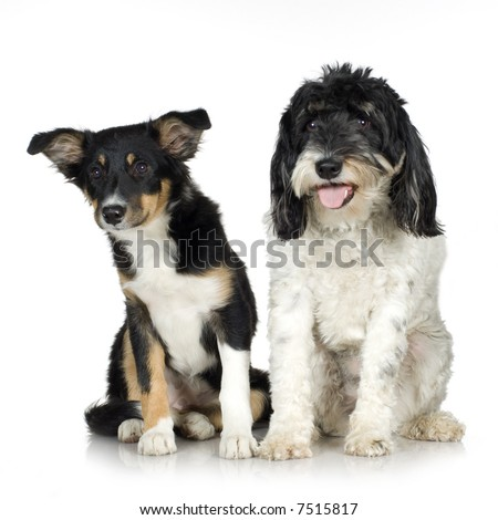 Tibetan Terrier (3 years) and puppy Border Collie (4 months) in front of a white background - stock photo