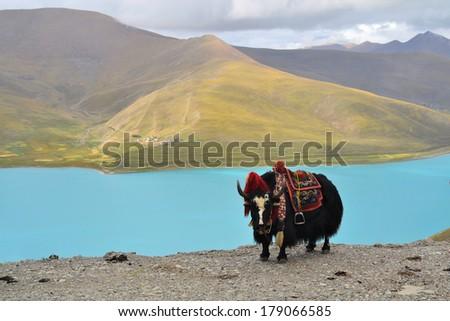 Tibetan Yak at Namtso Lake near Lhasa - stock photo