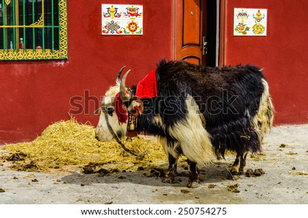 Tibetan yak in the mountains of the Himalayas - stock photo