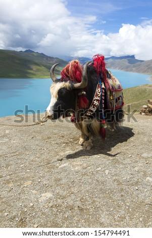 Tibetan yak lake - stock photo