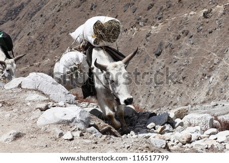 Tibetan yak with cargo in the mountains - stock photo