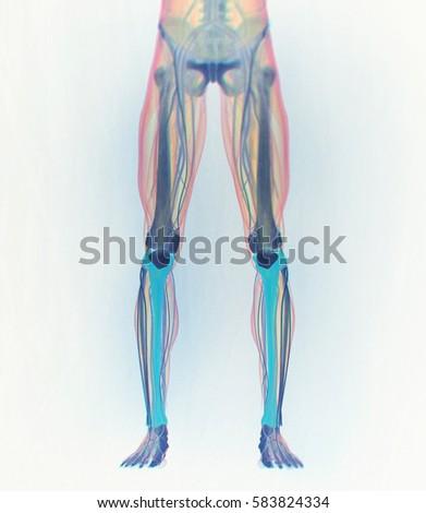 Tibia Bone Human Anatomy 3d Illustration Stock Illustration