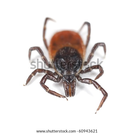 Tick isolated on white background. Extreme close-up with high magnification. Focus on the mouthparts. This animal is a disease carrier of TBE and borrelia. - stock photo