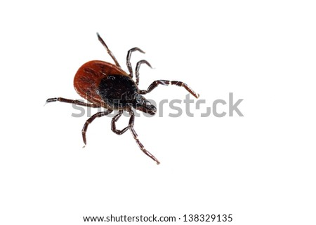 Tick Ixodes ricinus isolated on white - stock photo