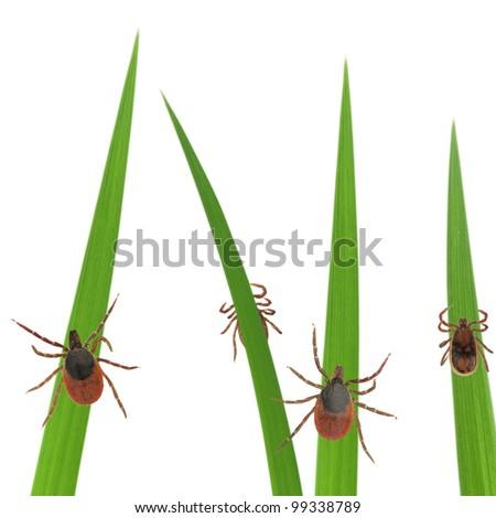 Tick on grass stalks isolated on white - stock photo