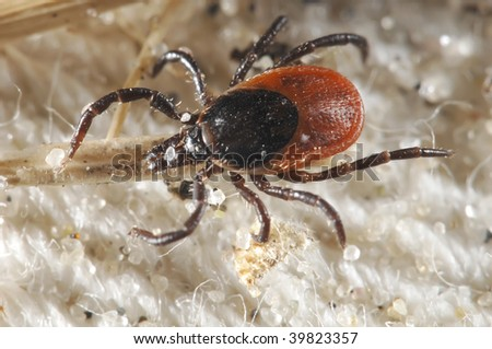 Tick waiting for a host - stock photo