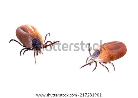 Ticks isolated on white background - stock photo