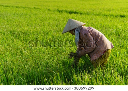 TIEN GIANG, VIETNAM - 21 FEB, 2016: The farmer is weeding on the field, Mekong delta, Vietnam