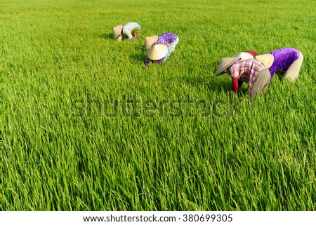 TIEN GIANG, VIETNAM - 21 FEB, 2016: The farmers are weeding on the field, Mekong delta, Vietnam