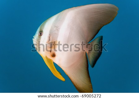 Tiera batfish - stock photo