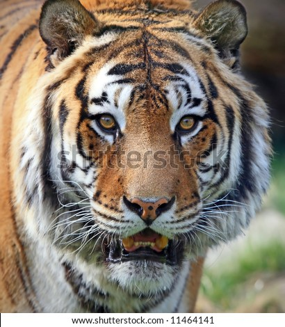 Bengal tiger face forest show big stock photo 495137596 - Show me a picture of the tiger ...