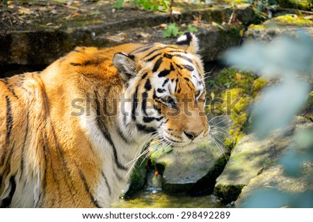Tiger. - stock photo