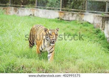 tiger - stock photo