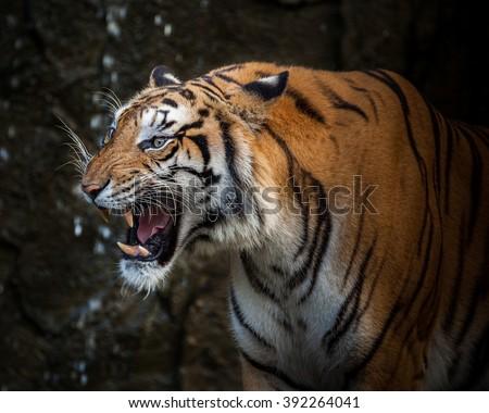 Tiger Snarl Side View | www.pixshark.com - Images ... - photo#39