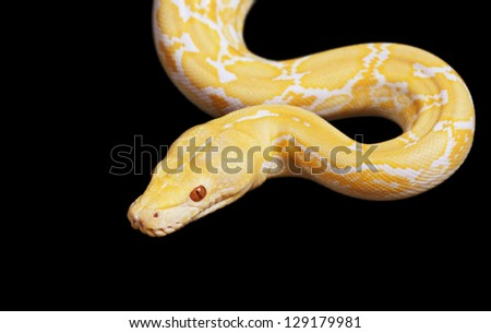Tiger Albino python snake isolated on black background - stock photo