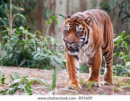 Tiger at National Zoo - stock photo