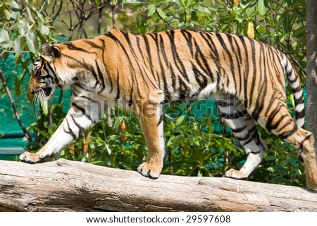 Tiger at the hunt - stock photo