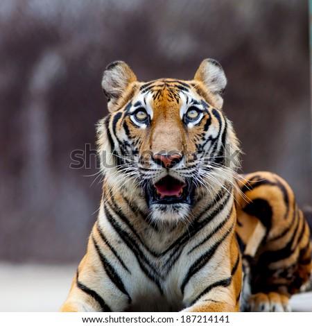 Tiger at the zoo - stock photo