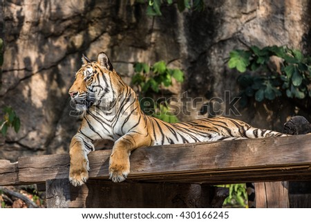 tiger at the zoo,thailand. - stock photo