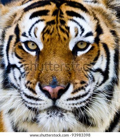 Tiger at the zoo.Tiger Face. - stock photo