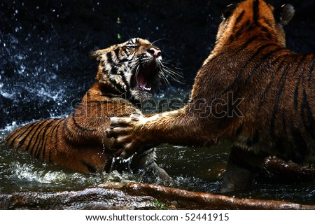 Tiger attack to other tiger - stock photo
