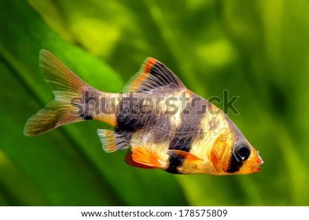 Tiger barb or Sumatra barb fish in the aquarium - stock photo