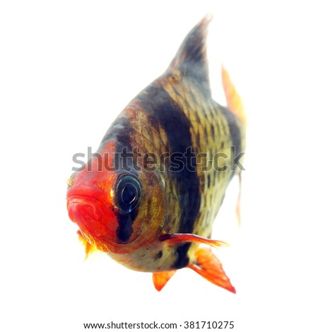 Tiger barb or Sumatra barb fish isolated