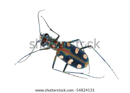 tiger beetle bug insect isolated on white - stock photo