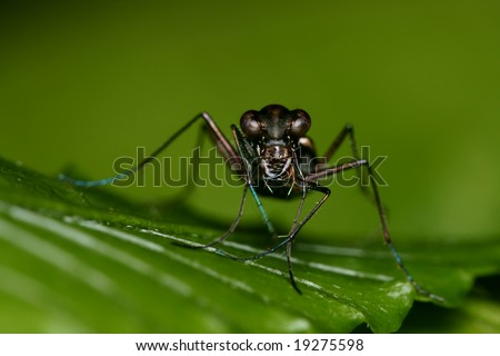 Tiger Beetle with Green Background