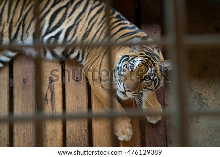 tiger behind bars in a zoo cage