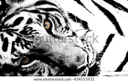 Tiger black and white photographs selected focus.