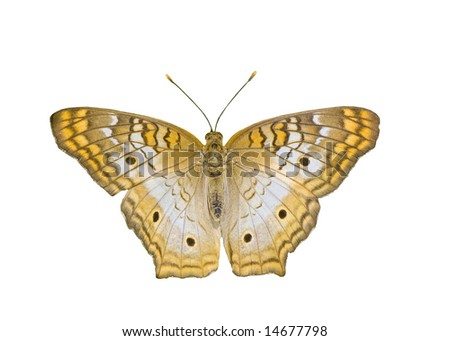 Tiger Butterfly - stock photo