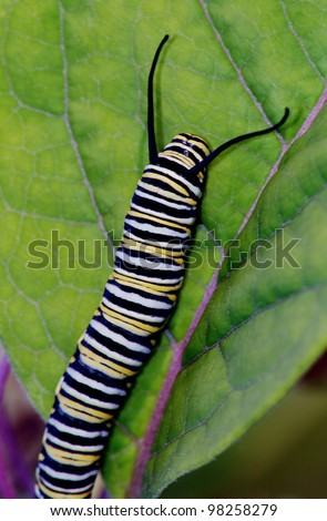 Tiger Butterfly Caterpillar on Green Leave - stock photo