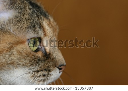 Tiger cat with copy space