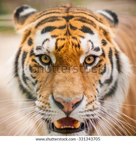 Tiger close up portrait - stock photo