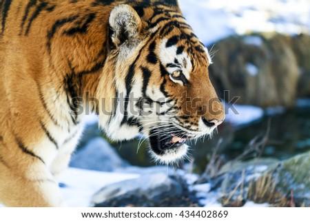 Tiger close up  Siberia at n - stock photo