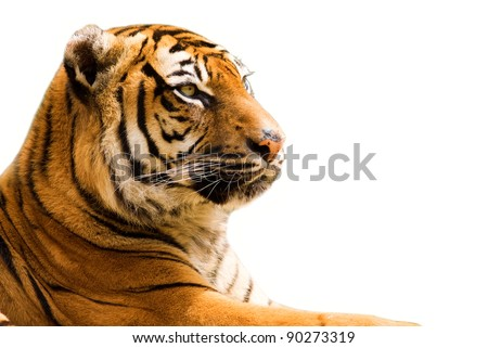 Tiger closeup - isolated on white background - stock photo