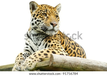 Tiger closeup, isolated on white background - stock photo