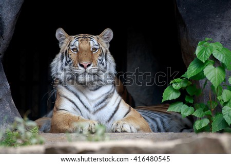 Tiger crouching in front the cave and looking straight ahead. - stock photo