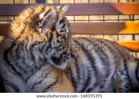 Tiger cub - stock photo