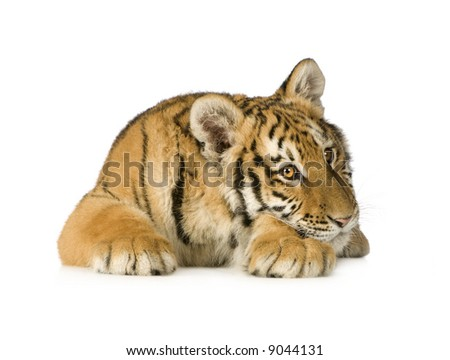 Tiger cub (5 months) in front of a white background - stock photo