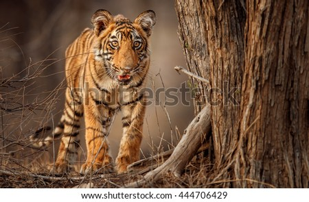 Tiger cub with big beautiful eyes/wild animal in the nature habitat/India, portrait, cute, endangered animals - stock photo