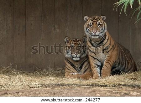Tiger Cubs - stock photo