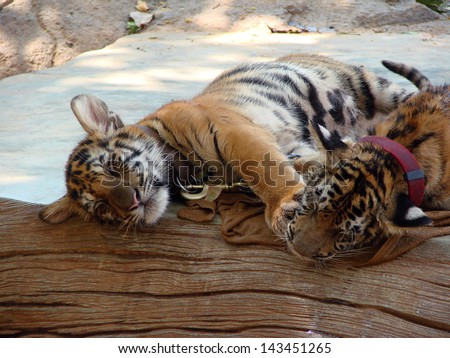 Tiger cubs are sleeping and playing. The picture was taken in the Tiger Temple, Thailand