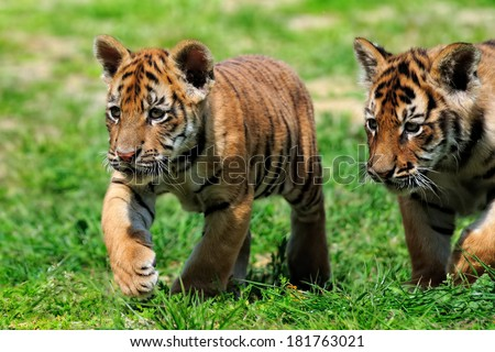 Tiger cubs - walking in sunshine - a pair of young Tigers walking in the sun at a zoo in Kent - UK - stock photo