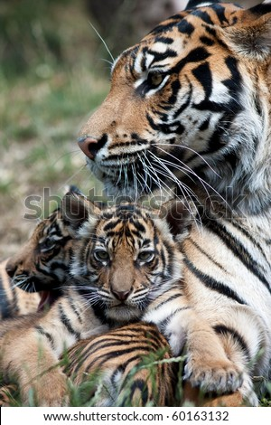 Tiger cubs with mom - stock photo