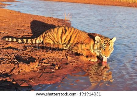 Tiger drinking - stock photo