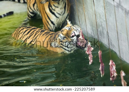 tiger eating a piece of meat - stock photo